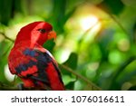 close up of a red lory  eos... | Shutterstock . vector #1076016611