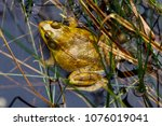 American Bullfrog (Lithobates catesbeianus) at Crex Meadows Wildlife Area, Wisconsin