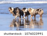 Four Australian Shepherd Dogs...