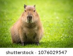 Capybara in the sun