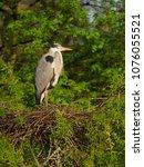 grey heron. ardea cinerea ... | Shutterstock . vector #1076055521