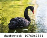 Amazing Black Swan On A Lake