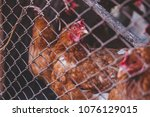 chickens on the farm. toned ... | Shutterstock . vector #1076129015