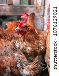 chickens on the farm. toned ... | Shutterstock . vector #1076129021