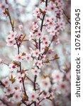 beautiful spring blooming tree... | Shutterstock . vector #1076129045