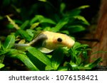 Small photo of Gyrinocheilus aymonieri Albino short body Sucking Loach