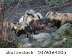 Small photo of African hunting dog pack eating horse carcas tearing apart