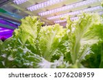organic hydroponic vegetable... | Shutterstock . vector #1076208959