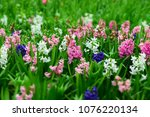 bright hyacinth flowers.... | Shutterstock . vector #1076220134