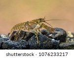 european crayfish  astacus...   Shutterstock . vector #1076233217