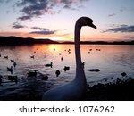 A silhuette of a swan and lake at sunset. - stock photo