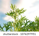 leaves of absinthe wormwood... | Shutterstock . vector #1076297951