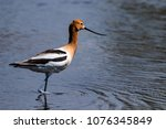 Small photo of An American Avocet