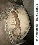 Small photo of Alligator lizard in punching bag in garage