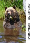the grizzly bear also known as...   Shutterstock . vector #1076397359