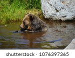 the grizzly bear also known as...   Shutterstock . vector #1076397365