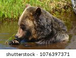 the grizzly bear also known as...   Shutterstock . vector #1076397371