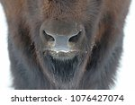 the nostrils of awood bison ... | Shutterstock . vector #1076427074