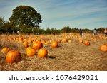 pile of orange pumpkins sit in... | Shutterstock . vector #1076429021