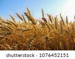Wheat Field In Spruce Grove ...