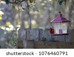 bright red male northern... | Shutterstock . vector #1076460791