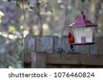bright red male northern... | Shutterstock . vector #1076460824