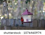 bright red male northern... | Shutterstock . vector #1076460974