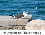 The Pacific Gull Is Resting On...