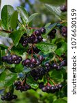 Small photo of berries of Aronia on a branch