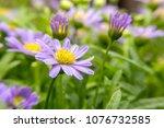 purple daisies flowers    Shutterstock . vector #1076732585