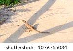 asian long tail lizard on hot... | Shutterstock . vector #1076755034