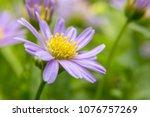 purple daisies flowers    Shutterstock . vector #1076757269