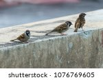 bird  eurasian tree sparrow ... | Shutterstock . vector #1076769605