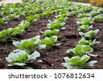 young cabbage field background | Shutterstock . vector #1076812634
