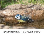 Cute blue tit bird bathing in...