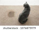 cute cat on carpet near wet spot   Shutterstock . vector #1076875979