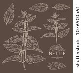 collection of nettle  plant ... | Shutterstock .eps vector #1076900561
