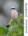 Small photo of Red-backed shrike on a raspberry bush