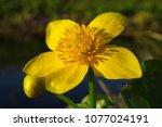 caltha palustris  marsh...   Shutterstock . vector #1077024191