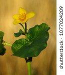 caltha palustris  marsh...   Shutterstock . vector #1077024209