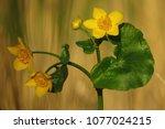 caltha palustris  marsh...   Shutterstock . vector #1077024215