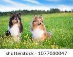 Shetland Sheepdogs In The...