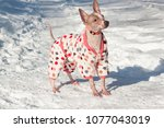 cute american hairless terrier... | Shutterstock . vector #1077043019