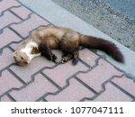 the beech marten  martes foina  ... | Shutterstock . vector #1077047111