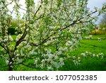 malus dolgo  decorative apple... | Shutterstock . vector #1077052385