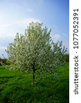 malus dolgo  decorative apple... | Shutterstock . vector #1077052391