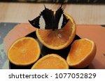 butterfly eats orange  | Shutterstock . vector #1077052829