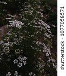 white cilantro coriander... | Shutterstock . vector #1077058571