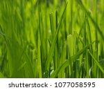 close up of grass | Shutterstock . vector #1077058595