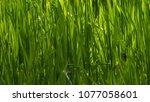 close up of grass | Shutterstock . vector #1077058601